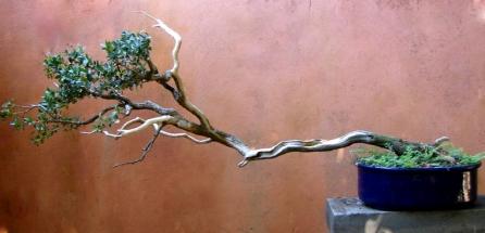 Espécie- Buxinho Estilo-Han Kengai Idade-24 anos Altura- 45cm Comprimento- 109cm