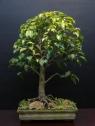 23-Ficus