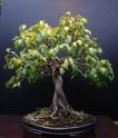 16-Ficus