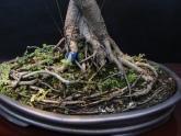 17-Ficus