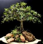 2- Ficus Retusa