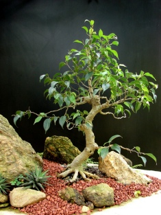 24-Ficus