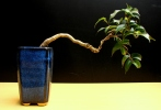 30-Ficus