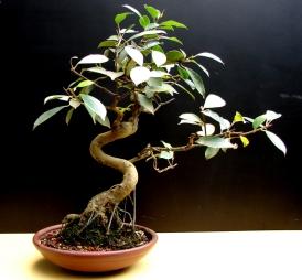 Espécie- Ficus Idade- 11 anos Altura- 31cm