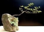 Espécie- Carmona Estilo- Penjing/ Han Kengai Pedra sabão