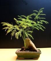 13-Bambu Chinês