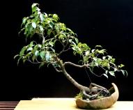 12-Ficus