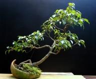 11-Ficus
