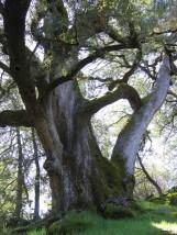 oak20giant