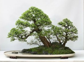 chinese_elm