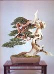 8B – Juniperus Chinesis78cm