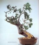 19A – Juniperus Chinesis72cm