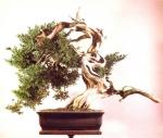 8A – Juniperus Chinesis78cm