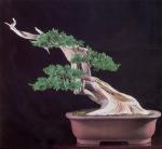19B – Juniperus Chinesis72cm