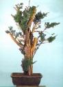4A - Taxus Cuspidata altura 88cm