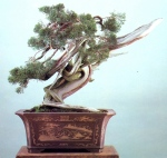 7A – Juniperus Chinesis altura67cm