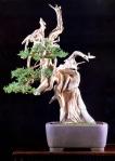9B – Juniperus Chinesis78cm