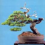 2B – Taxus Cuspidata altuta75cm
