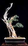 3B –  Taxus Cuspidata altuta103cm