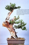 3A –  Taxus Cuspidata altuta103cm
