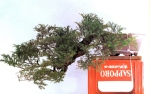 5A –  Taxus Cuspidata altuta85cm