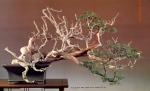 6B – Juniperus Chinesis altura 64cm – Comprimento133cm