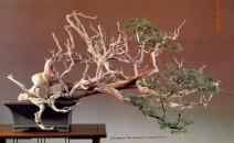 6B - Juniperus Chinesis altura 64cm - Comprimento 133cm