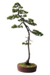 five_needle_pine1