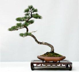 five_needle_pine2