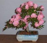 azalea-in-bloom-2003