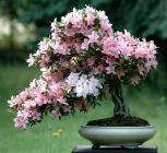 azalea-indicum-60cm