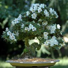 azalea-indicum-70cm