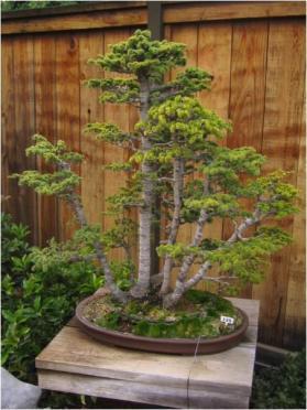 bonsai-092