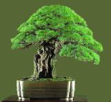 bonsai07