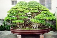 bonsai15