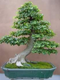 bonsai19-1-1