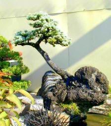 bonsai2015