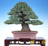 bonsai27