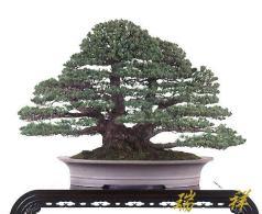 bonsai28