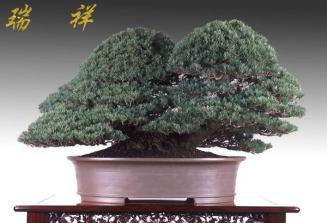 bonsai29