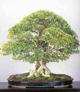 bonsai4-1