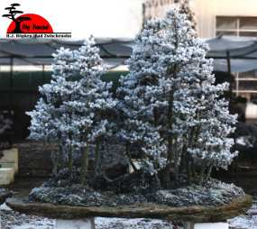 bonsai_bdm_122000