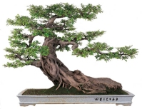 bonsai_penjing