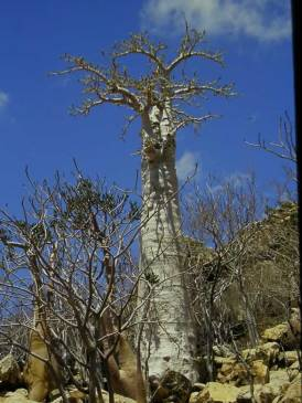 cucumber-tree-socotra_jpg