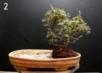 Primeira árvore do conjunto.Cotoneaster Microphyllus.
