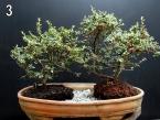 Segunda árvore do conjunto.Cotoneaster Microphyllus.