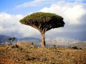 p352608-socotra_yemen-dragons_blood_tree