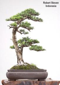 podocarpus-r-steven