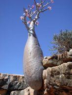 socotra-island-tree-17