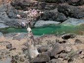 tree-in-jemen